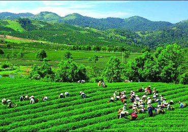 Kinh tế Phú Thọ phát triển nhờ công ty chè
