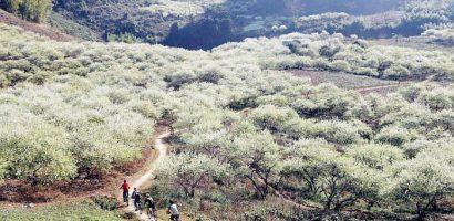 Trắng xóa một thung lũng mận ở Mộc Châu