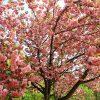 Những lễ hội hoa mùa xuân ở Hàn Quốc